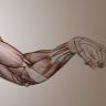 [Proko] Anatomy of the Human Body: Arms [ENG-RUS]